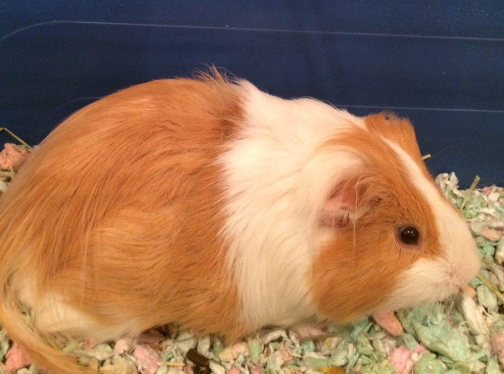 Our guinea pig Wilbur